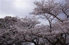 AOAのLEXSIORとKOCCのkbbさんで夜桜オフ田代公園