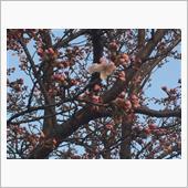 桜 情報-2