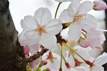 Panasonic「Harryer」で横浜桜ツーリング(^-^)/