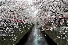 都内桜の名所巡りへ