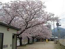 桜満開(^o^)