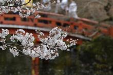 京都の桜の名所を散策してきました その1