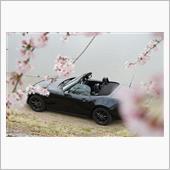 桜を探して
