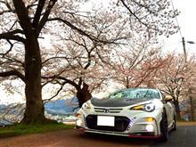 桜レポート2016!