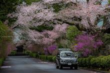 桜ドライブ(川根・藁科・富士宮・富士)