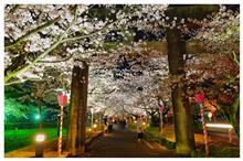 週末の金曜日は、夜桜徘徊です。(^o^)/