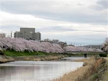 京都-満開桜