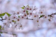 桜とマリンワールド♪