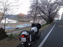 後楽園の東土手の桜