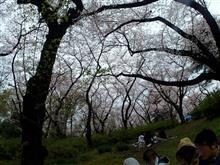 雨のちお花見@三ツ沢公園