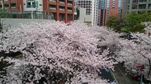 六本木の桜も満開