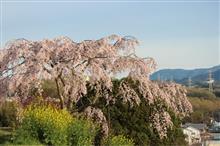 夕日の滝桜