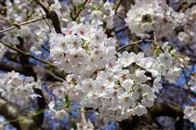 もう少し 楽しめるかな 桜色。