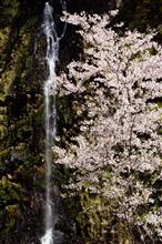南大和の桜