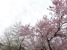 桜を見に行きました