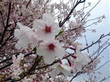 Sakura♪♪