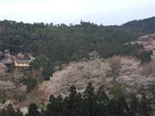 本日、吉野桜の様子