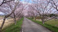 桜トンネル ~ステラでプチお花見ドライブ。S4でお花見スポット偵察も