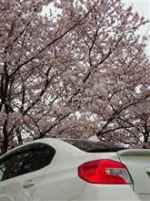 埼玉県東部の桜🌸巡り
