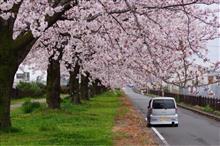 放水路沿いの桜 03 (桜とH81W)