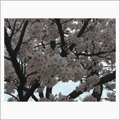 桜情報ー3