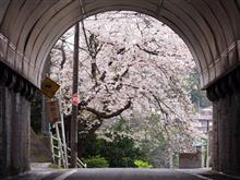 横須賀に桜ドライブなので~