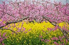 菜の花と桃の競演
