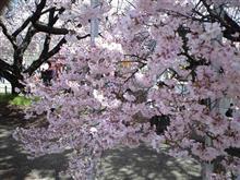 高遠城址公園へ桜見に