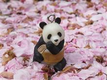 パンダだって花見がしたいぢゃん!www