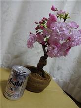 お部屋でお花見。