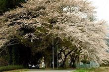 大井川の… 桜たち…  \(^o^)/