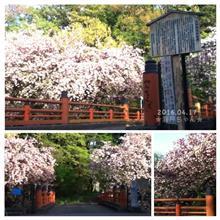 ★ふじみ野市★弁天の森の八重桜2016