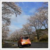 桜、見頃終わり