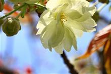 終わりを告げる桜色