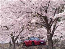 琵琶湖桜ドライブ2016 -1