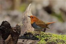 柳沢峠の野鳥達