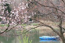 桜の開花宣言ですよ!!