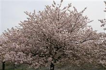 小布施町 千曲川周辺 桜探訪