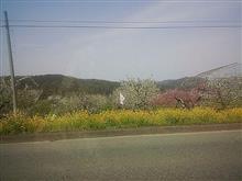 桜は散っても