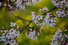 そして小金井公園の桜はフィナーレを迎える