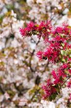 武蔵野公園の桜たち Part1