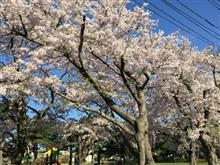 今日の桜日記とか・・・