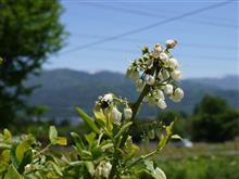 咲いた咲いたブルーベリーの花が・・・