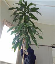 幸福の木の植え替え