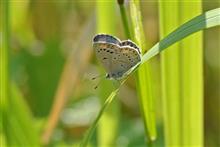 身近な蝶  (ヤマトシジミ) ・ダービー2