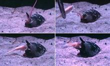 地球上で最も恐ろしい「殺人貝」イモガイの捕食シーンが撮影される。