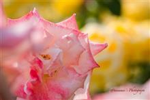 Each Rosy Life  〜神代植物公園 春のバラフェスタ2016 Part2〜