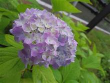 雨と紫陽花・・・