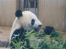 パンダを見に行く