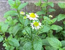 カモミールの花が咲いた(´∀`*)